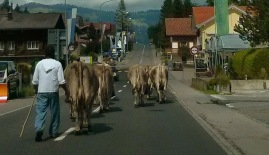 cows in traffic from behind
