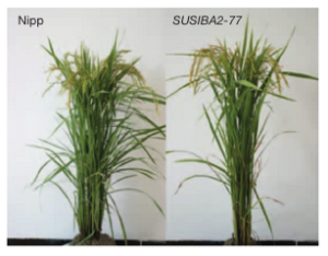 Rice biomass distribution difference