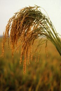 US_long_grain_rice