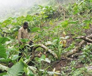 Bakweri_cocoyam_farmer_from_Cameroon