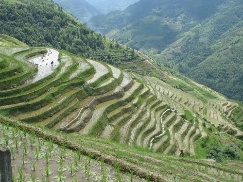 rice monoculture