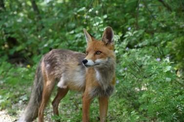 Chernobyl_fox_2016_-_1