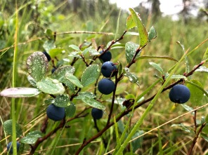 Bog bilberries after the rain