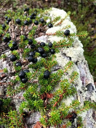 Crowberries on a rock